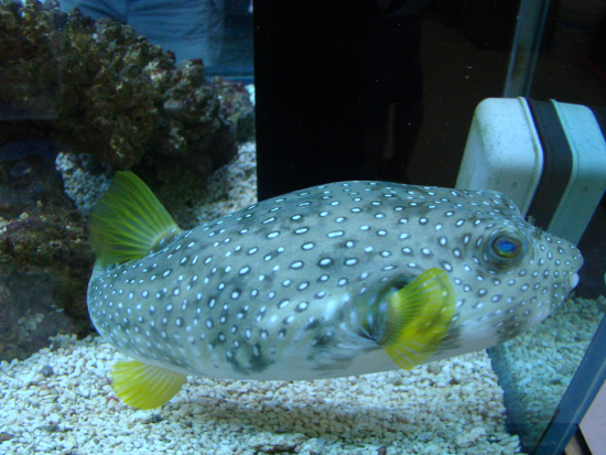 Section fish library group pufferfishes species for Puffer fish diet
