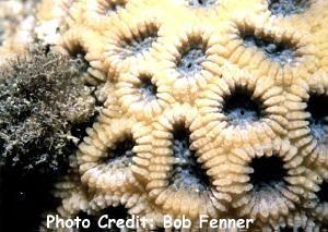 Acanthastrea faviaformis Photo Credit:Bob Fenner