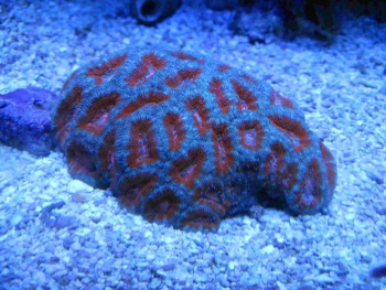 Acanthastrea lordhowensis Photo Credit:Bob Goemans