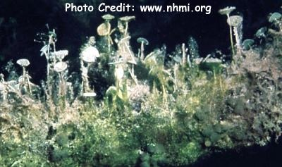 Mermaid's Cup/Mermaid Wine Glass Alga (Acetabularia crennulata) Photo Credit:www.nhmi.org