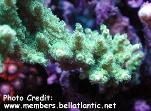 Acropora bifurcata Photo Credit:members.bellatlantic.net