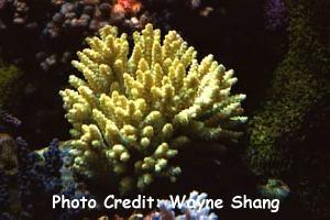 Bushy Acropora (Acropora bushyensis) Photo Credit:Wayne Shang