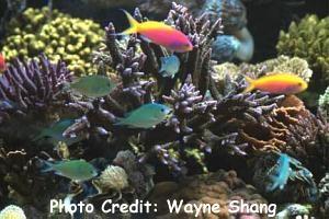 Acropora Formosa (Acropora formosa) Photo Credit:Wayne Shang