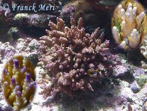 Acropora nana Photo Credit:Franck Meri
