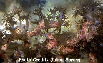 Stick Polyps, Polyp Trees (Acrozoanthus australiae) Photo Credit:Julian Sprung