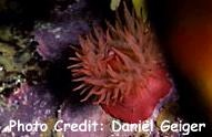 Red - Sea Anemone (Actinia equine) Photo Credit:Daniel Geiger