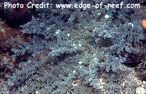 Pinnate/Hells Fire/Tree Anemone (Actinodentron cf. plumosum) Photo Credit:edge-of-reef.com