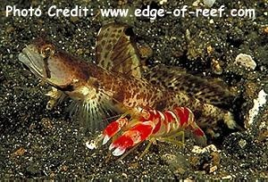 Alpheus randalli Photo Credit:edge-of-reef.com