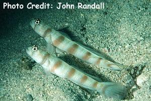 Amblyeleotris novaecaledoniae Photo Credit:John Randall