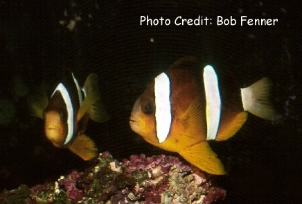 Clark's Anemonefish  (Amphiprion clarkii ) Photo Credit:Bob Fenner