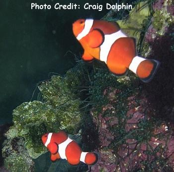False Clown Anemonefish  (Amphiprion ocellaris ) Photo Credit:Craig Dolphin