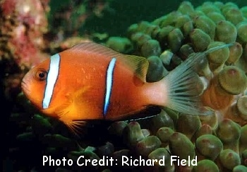 Oman Anemonefish  (Amphiprion omanensis ) Photo Credit:Richard Field