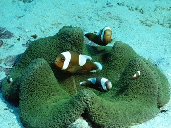 Saddleback Clown Anemonefish  (Amphiprion polymnus ) Photo Credit:David Cook