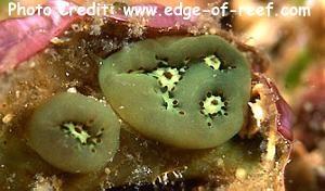 Aplidiopsis sp. Photo Credit:edge-of-reef.com