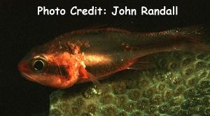 Halfbanded Cardinalfish (Apogon semiornatus) Photo Credit:John Randall