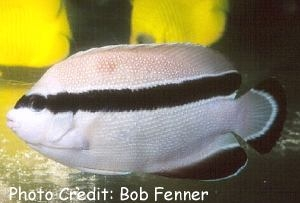 Bandit Angelfish (Apolemichthys arcuatus  ) Photo Credit:Bob Fenner