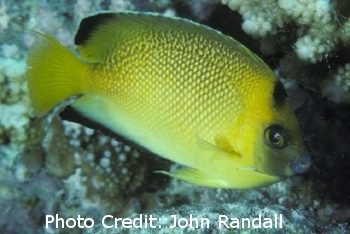 Armitage Angelfish (Apolemichthys armitagei  ) Photo Credit:John Randall