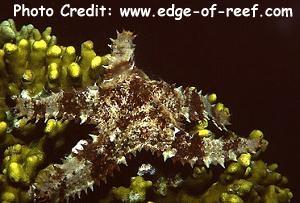 Asteropsis carinifera Photo Credit:edge-of-reef.com