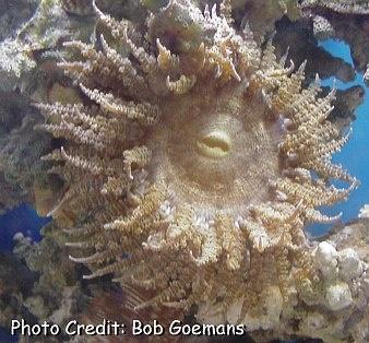 Curleycue/Ringed Anemone (Bartholomea annulata) Photo Credit:Bob Goemans
