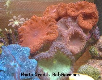 Pineapple/Open Brain Coral,  or simply 'Blastomussa' (Blastomussa wellsi) Photo Credit:Bob Goemans