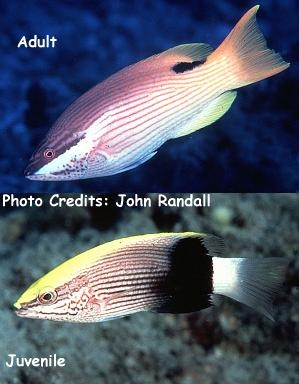 Bodianus bilunulatus Photo Credit:John Randall