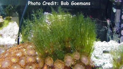 (Bryopsis plumosa) Photo Credit:Bob Goemans