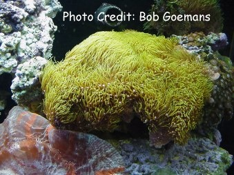 Green Star Polyps or Starburst (Briareum (Pachyclavularia) violacea) Photo Credit:Bob Goemans