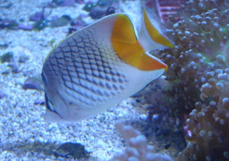 Section: Fish Library: Group: Butterflyfishes: Species ...