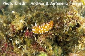 Sea Slug (Cadlinella ornatissima) Photo Credit:Andrea & Antonella Ferrari