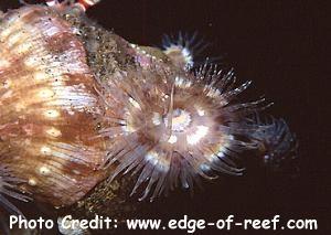 Calliactis polypus Photo Credit:edge-of-reef.com