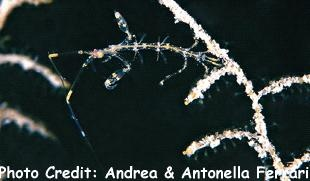 Ghost Shrimp (Caprellid linearis) Photo Credit:Andrea & Antonella Ferrari
