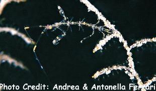 GhostShrimp (Caprellidlinearis) Photo Credit:Andrea & Antonella Ferrari
