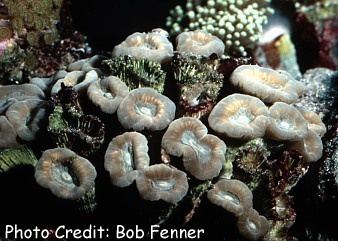 Torch Coral (Caulastrea echinulata) Photo Credit:Bob Fenner