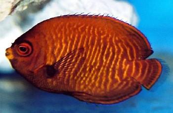 GoldenAngelfish, Aurinatus Angelfish, Velvet Dwarf Angelfish (Centropygeaurantius) Photo Credit:Hiroyuki Tanaka