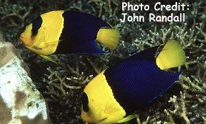 Bicolor, Blue and Gold, Pacific Rock Beauty Angelfish  (Centropyge bicolor  ) Photo Credit:John Randall