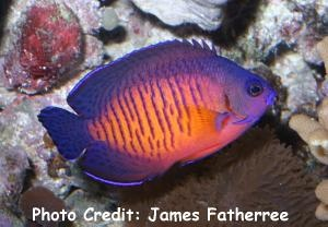 Coral Beauty/Two-spined Angelfish (Centropyge bispinosus  ) Photo Credit:James Fatherree