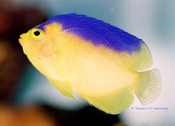 Colin'sPygmyAngelfish/Cocos-KeelingAngelfish (Centropygecolini) Photo Credit:Hiroyuki Tanaka