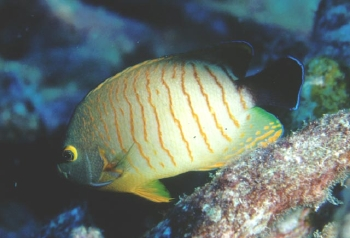 Eibl's Angelfish, Orangeline Angelfish, Red Stripe Angelfish, Blacktail Angelfish (Centropyge eibli) Photo Credit:Richard Field