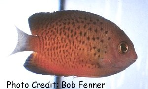 Rusty Pygmy Angelfish (Centropyge ferrugatus) Photo Credit:Bob Fenner