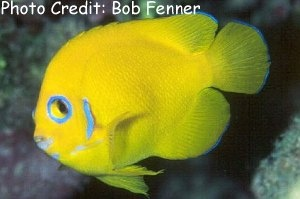 Lemonpeel Angelfish (Centropyge flavissima  ) Photo Credit:Bob Fenner