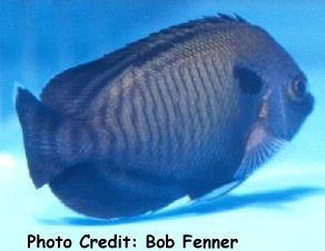 Many-Spined Angelfish (Centropyge multispinis  ) Photo Credit:Bob Fenner
