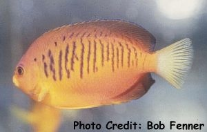 Shepard's Pygmy Angelfish (Centropyge shepardi) Photo Credit:Bob Fenner