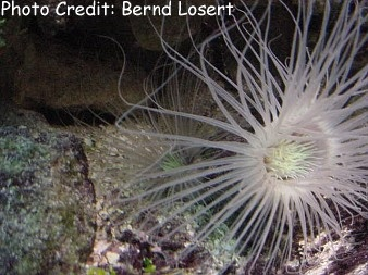 Cream-colored/North American Tube Anemone (Ceriantheopsis americanus) Photo Credit:Bernd Losert