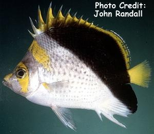 Yellow-Crowned Butterflyfish (Chaetodon flavocoronatus) Photo Credit:John Randall