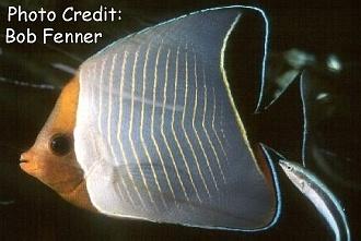 Chaetodonlarvatus Photo Credit:Bob Fenner