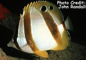 Doubledash/South African Butterflyfish (Chaetodon marleyi) Photo Credit:John Randall