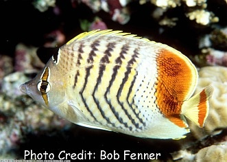 Redback/Red Sea Pearlscale Butterflyfish (Chaetodon paucifasciatus) Photo Credit:Bob Fenner