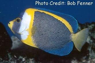 Scribbled Angelfish (Chaetodontoplus duboulayi) Photo Credit:Bob Fenner