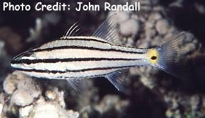 Five-lined Cardinalfish (Cheilodipterus quinquelineatus) Photo Credit:John Randall