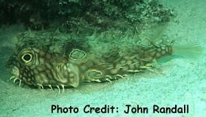 Web Burrfish (Chilomycterus antillarum) Photo Credit:John Randall